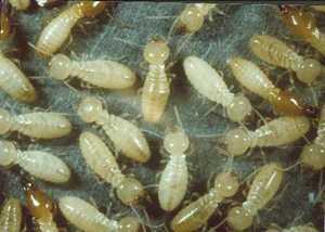 Z_termites_cwc